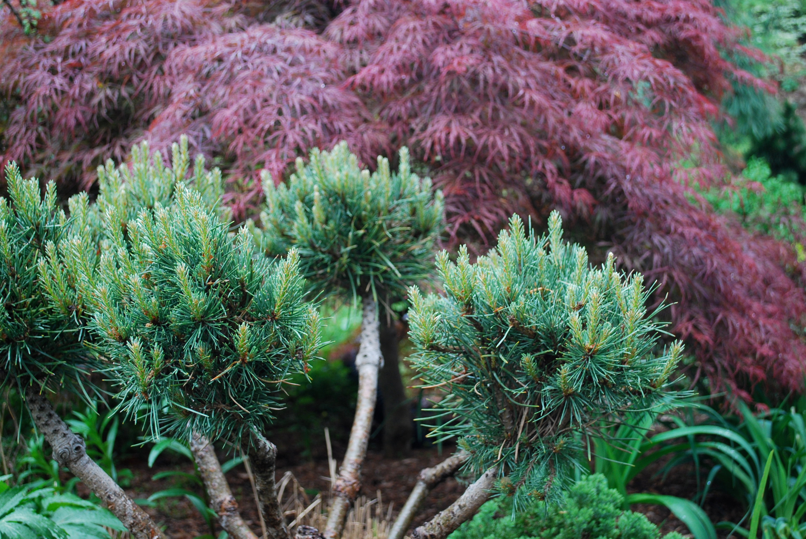 Scots pine and Japanese maple