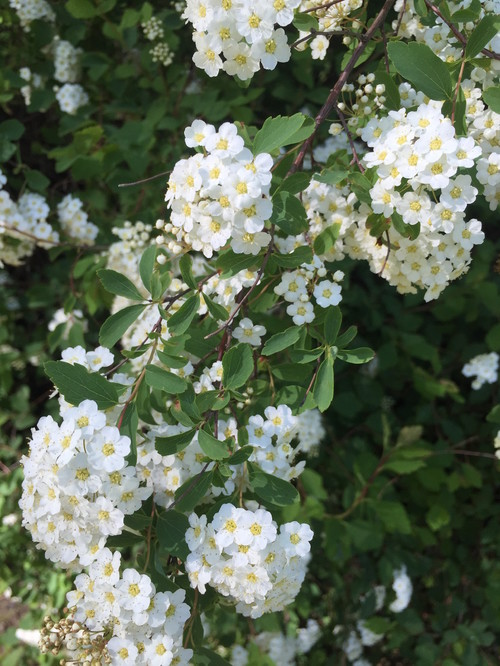 Lovely cascading white bushes as a hedge mightylinksfo