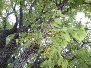 Shade Tree With Small Yellow Flowers In North Texas
