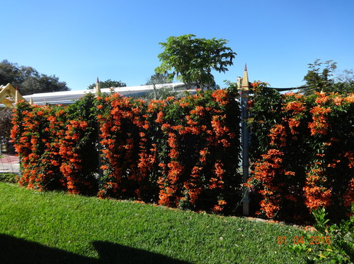 fastgrowing vine for privacy trellis, Natural flower