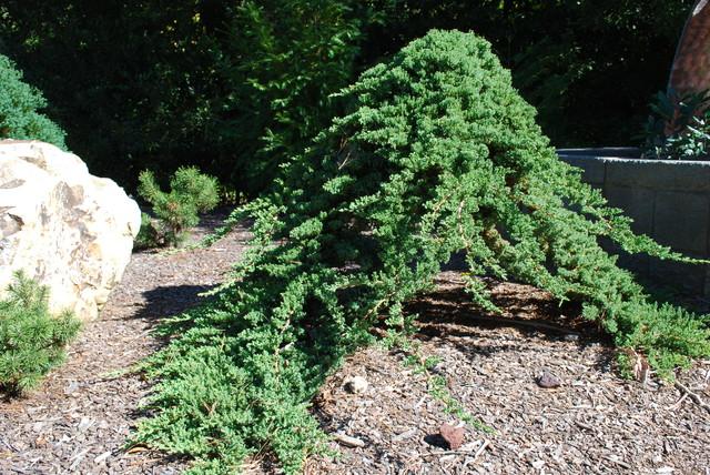 Juniperus Procumbens Nana Grafted Onto A Standard