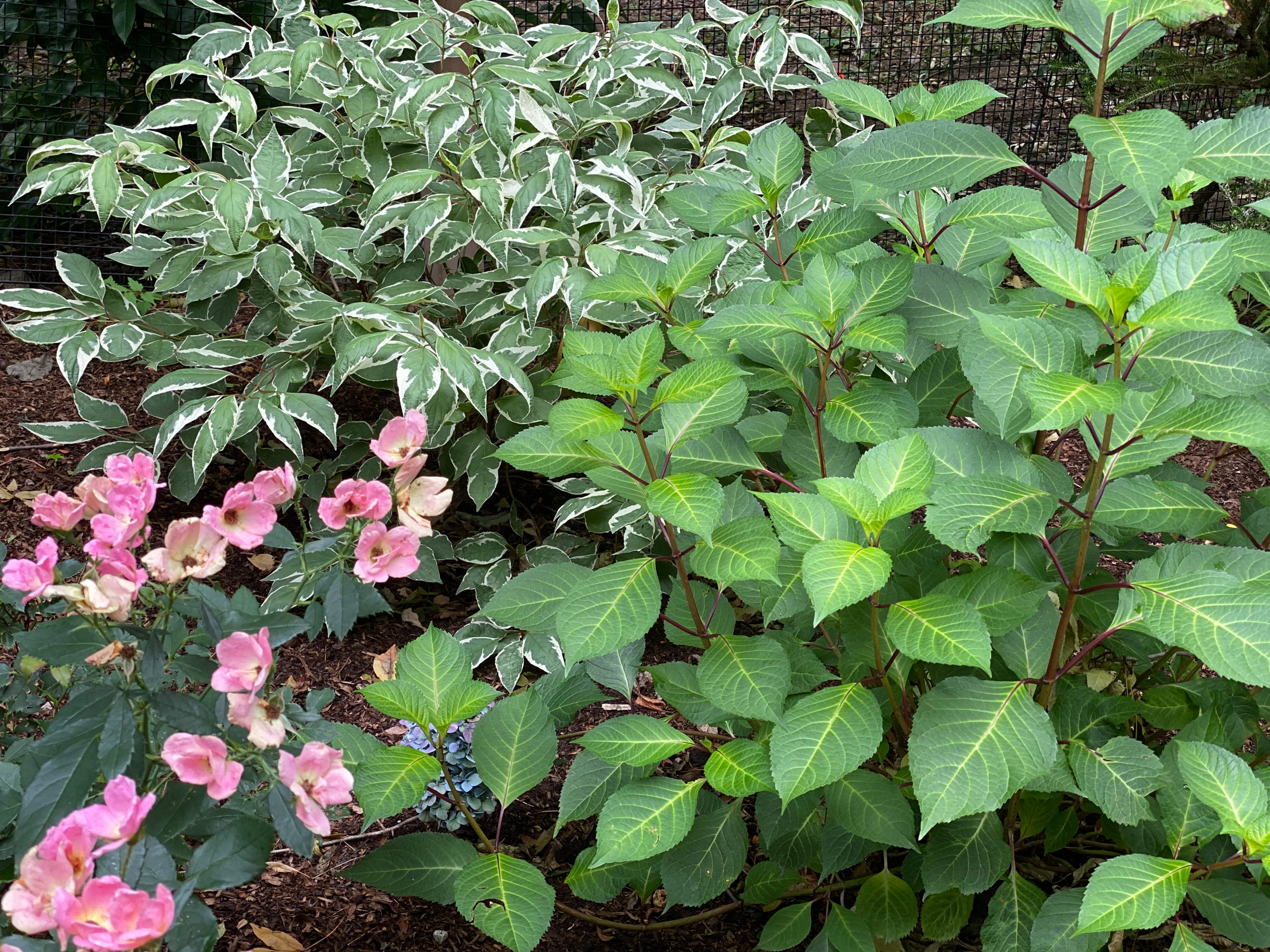 pink knockout rose, variegated red twig dogwood, hydrangea