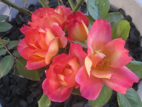 Rosas Escaladas y Arbustos Rosa | Granja Perenne del Estado de la Bahía
