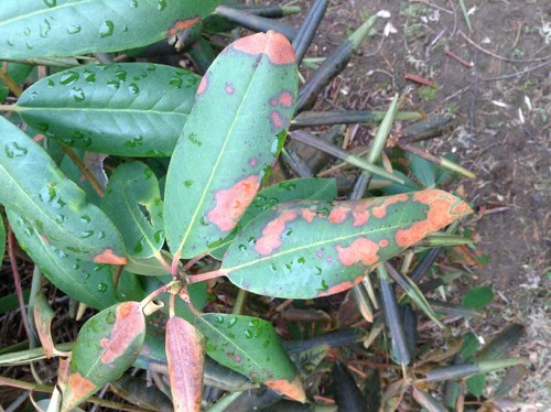 Does My Rhododendron Have A Disease