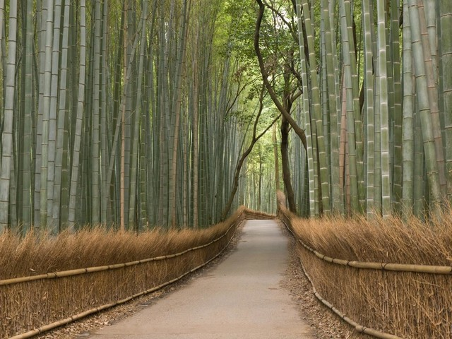 Kyoto Bamboo Grove Wall Mural - 36 Inches W x 27 Inches H asian-wall