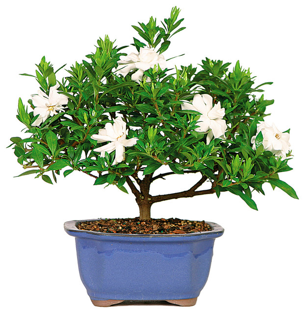 Gardenia Bonsai Tree Asian Plants By Brussel S Bonsai