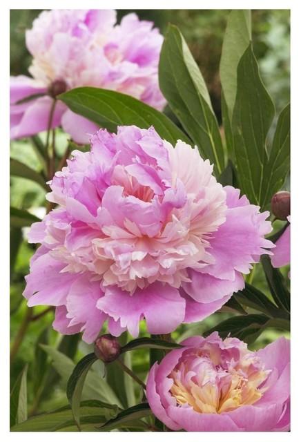 Peony Mme Emile Debatene Variety Flowers Paper Print 14 X20