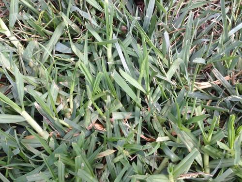 Grass identification