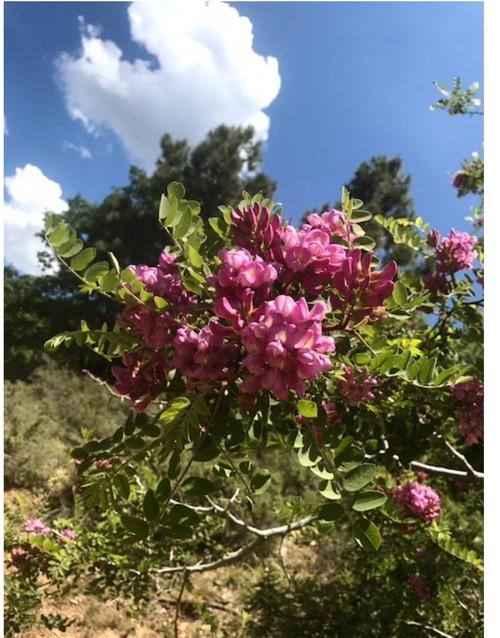 Az mountain tree with pink flowers mightylinksfo