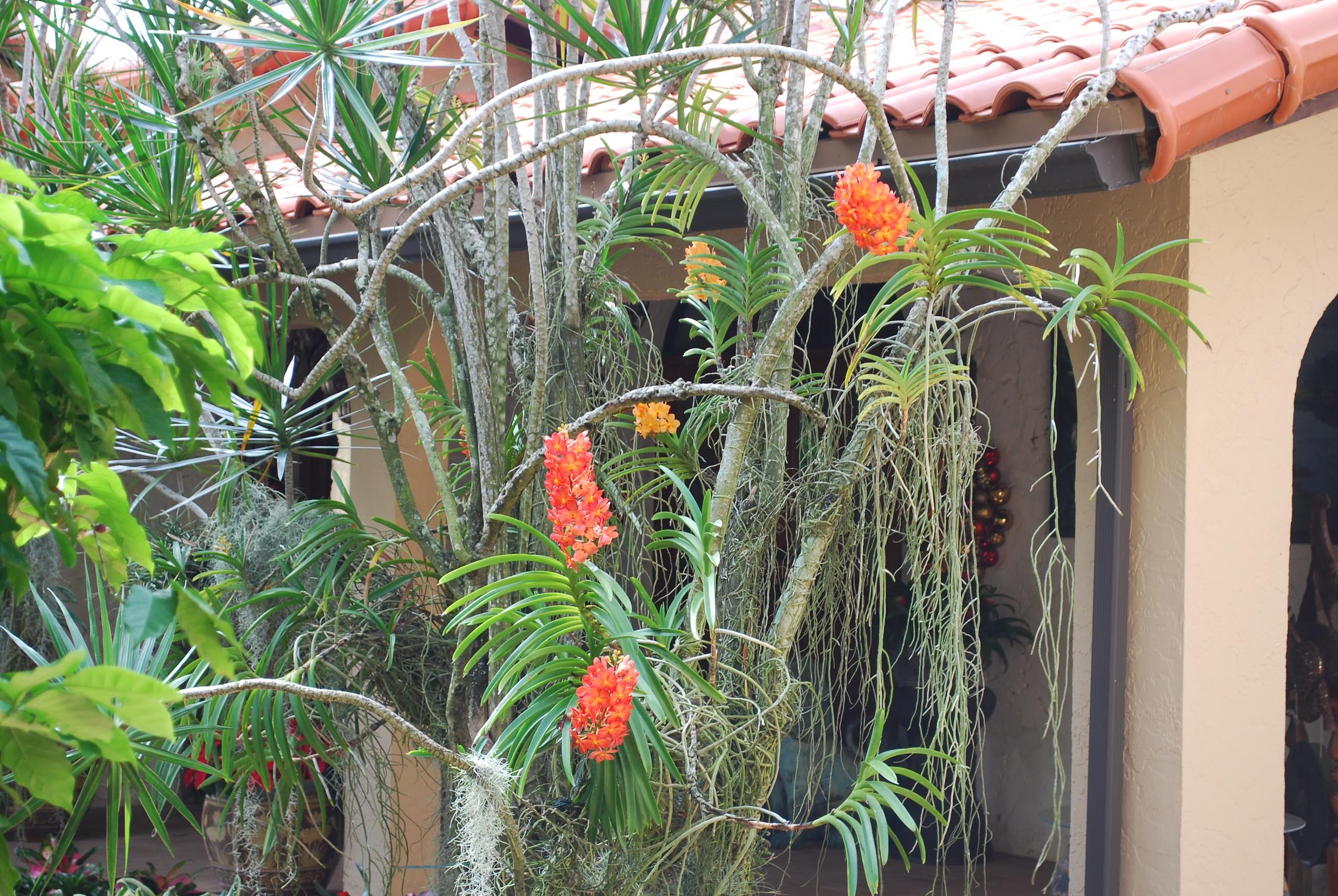 Ascocenda orchids