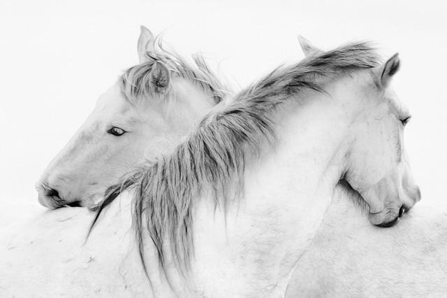 "Stas - Horses Fine Art Giant Canvas Print, 72""x48""."