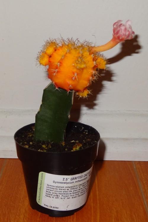 Moon Cactus Blooming