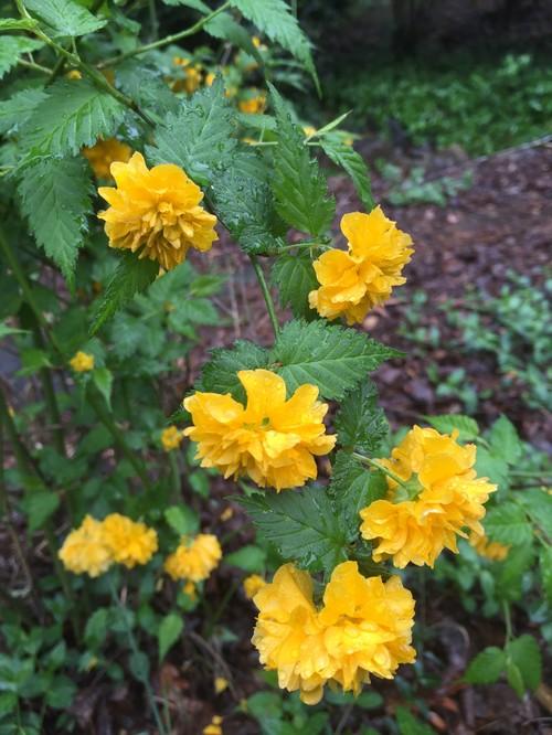 Help identifying vine w yellow flowers mightylinksfo