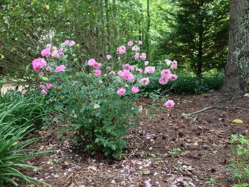 Arbustos con hojas variadas & amp; Pequeñas Flores Rosadas | Inicio Guías | Puerta SF