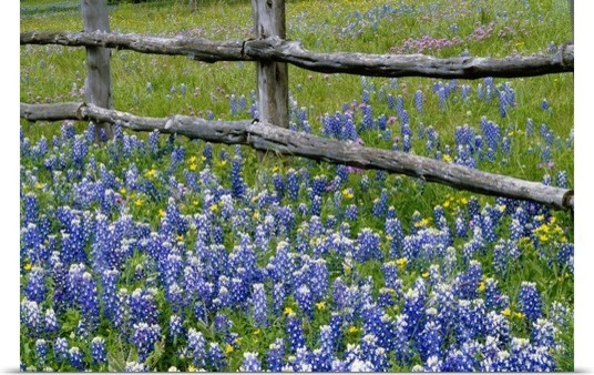 Bluebonnet Flowers Blooming Around Weathered Wood Poster Print Wall Art Farmhouse Prints