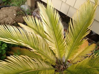 Please help me with my cycads for Help me design my garden