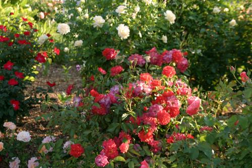 Favorite multi colored roses for Multi colored rose bushes