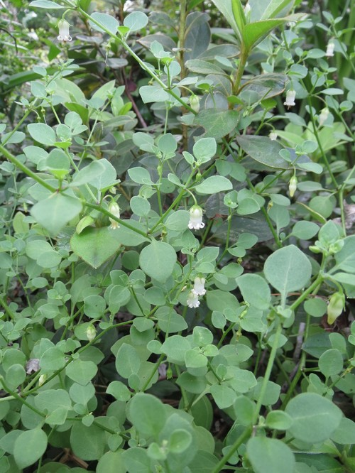 Weed vine with white bell shaped flowers mightylinksfo