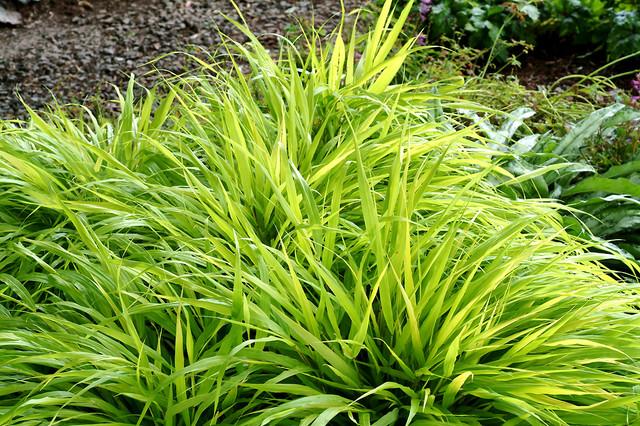 All Gold Japanese Forest Grass Hakonechloa Macra All