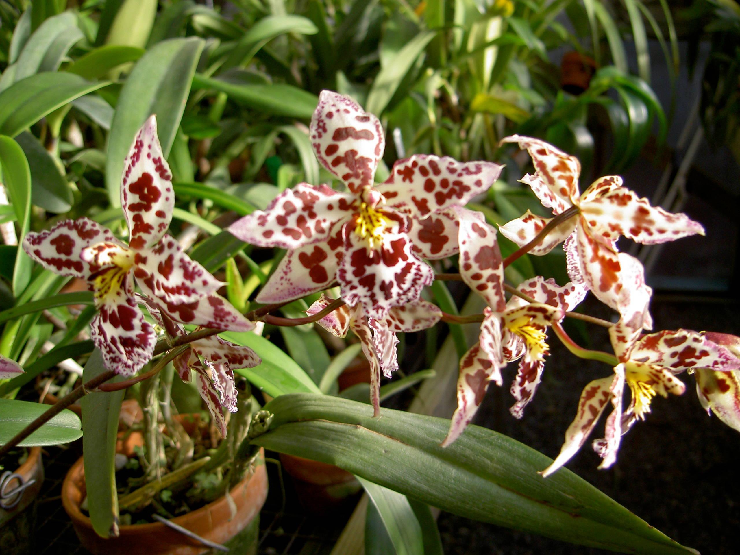Odontocidium  Margaret. Holm 'Alpine' (Oncidium intergeneric)