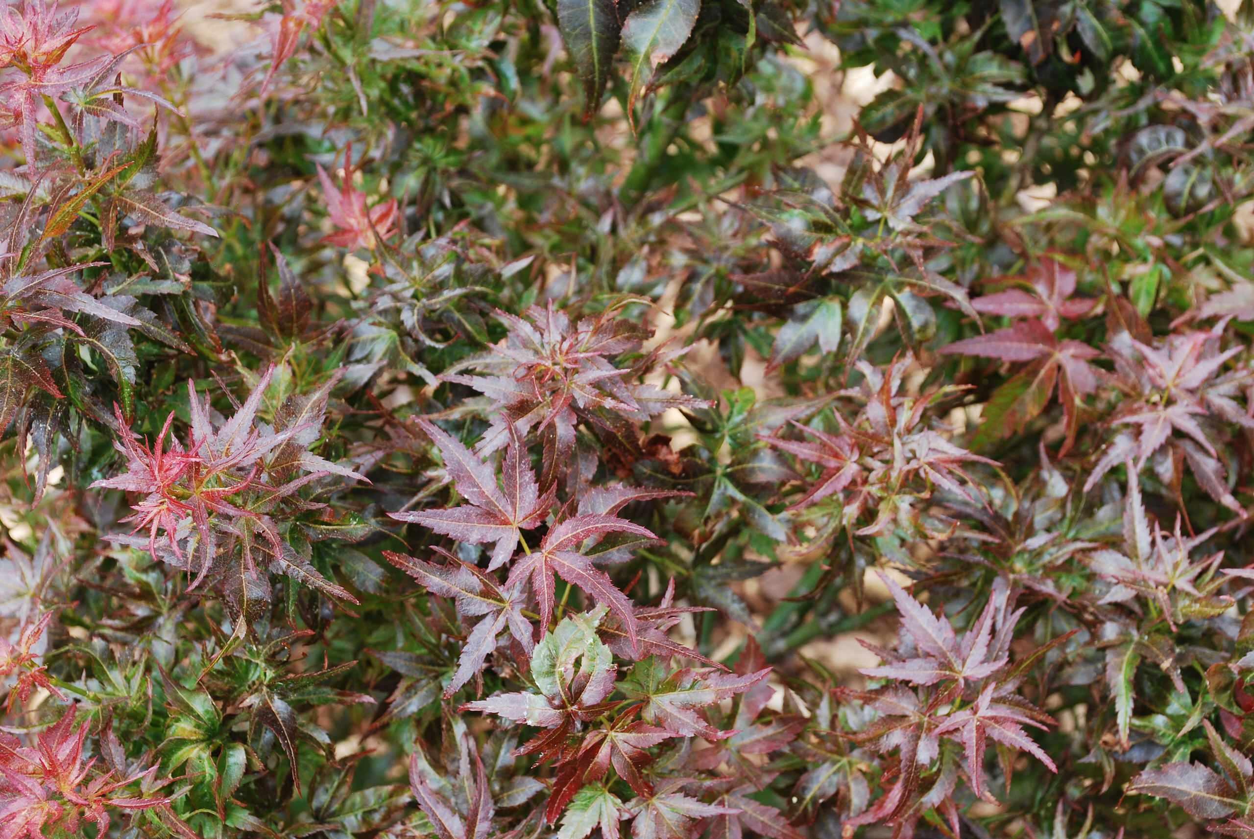 Acer palmatum 'Kurenai Jishi' (Black Lion)
