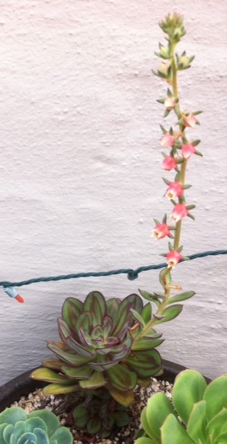 Help me name this succulent for Help me design my garden