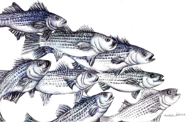 Striped Bass Art Print Pen And Ink Drawing Wall Print Old School Beach Style Drawings And Illustrations By Michelebuttons Houzz