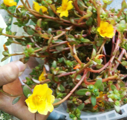 Spreading ground cover with yellow flowers possibly succulent mightylinksfo