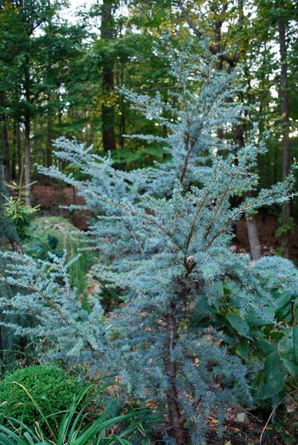 Horstmann Blue Atlas Cedar Eclectic Charlotte By Jay