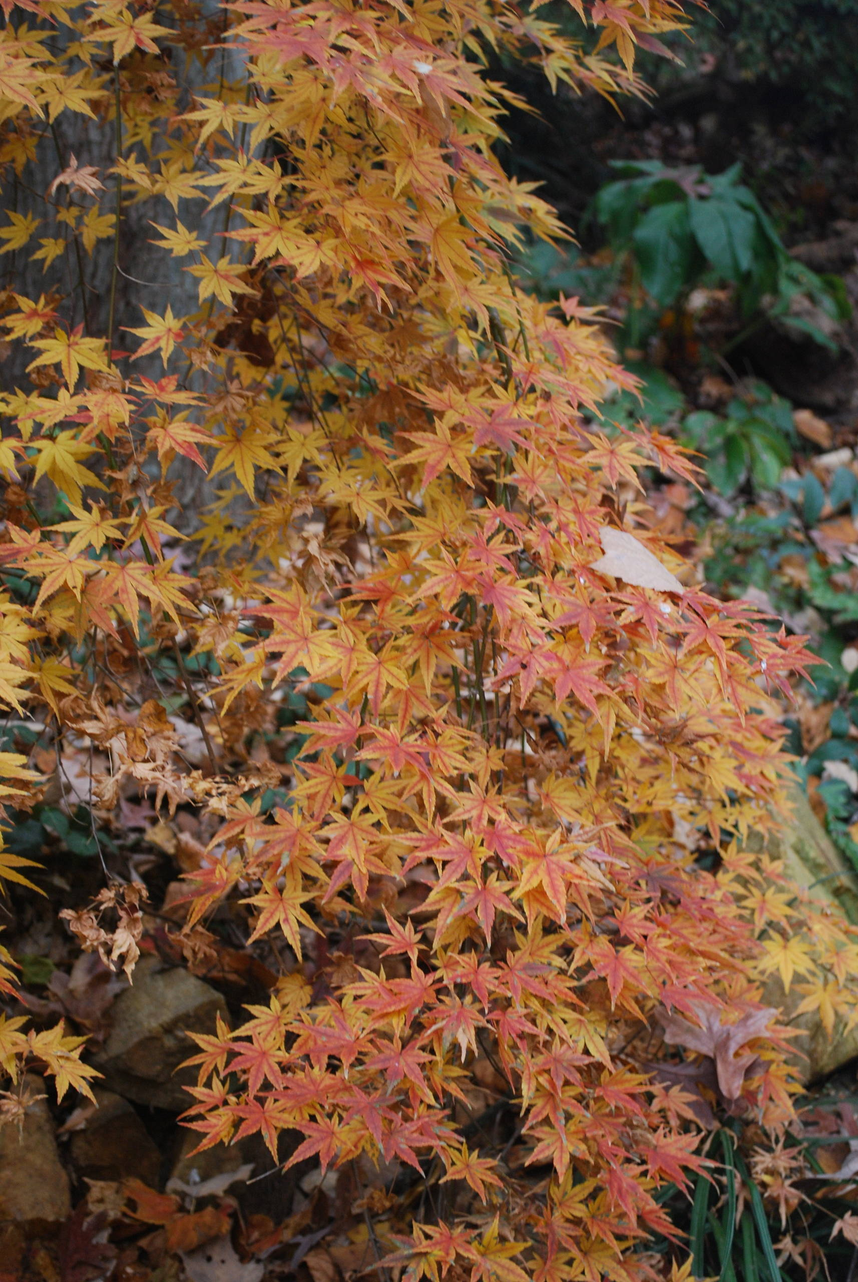Ryusen Japanese Maple