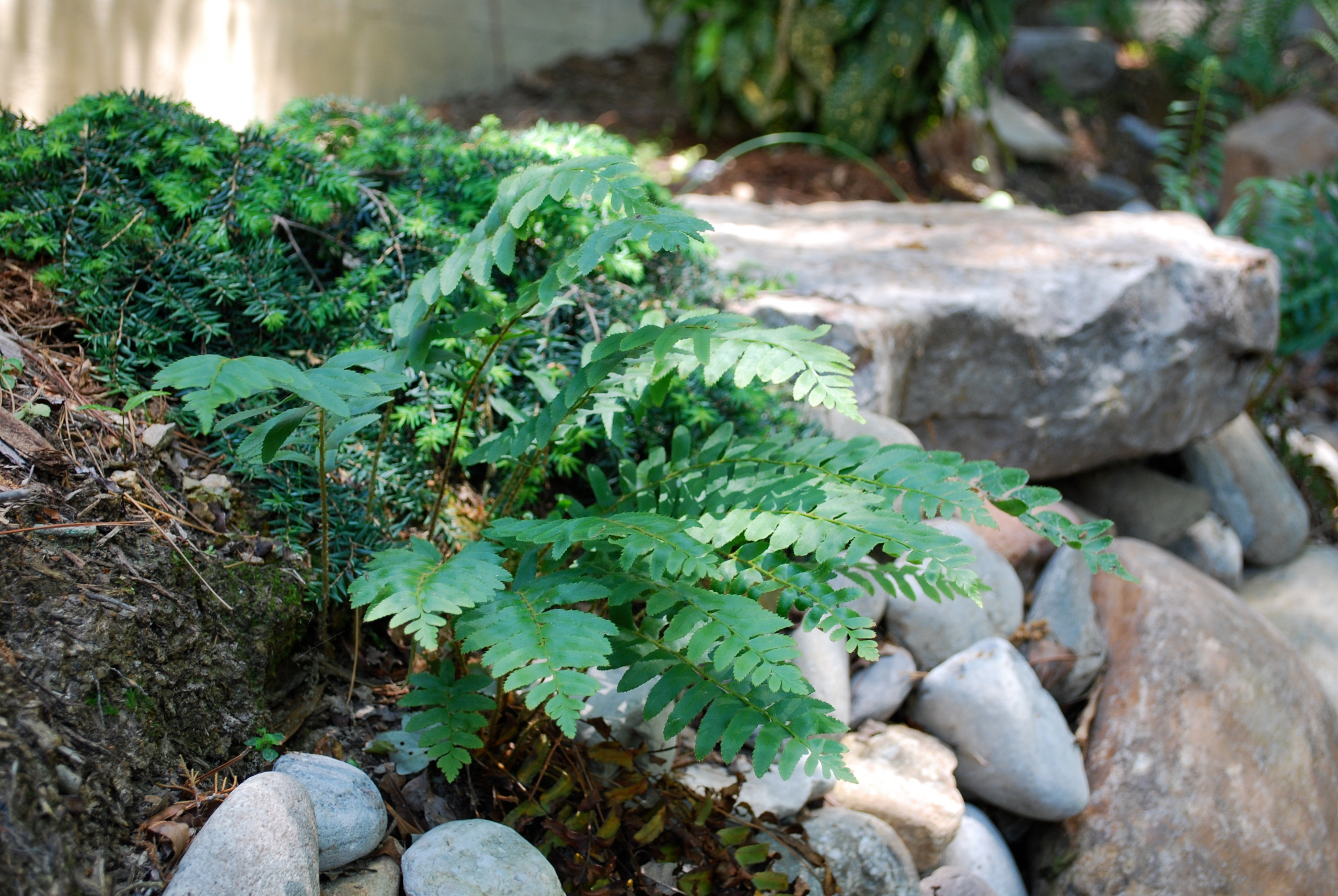 Christmas fern at the edge of a dry creek bed.