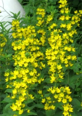 Tall plant with yellow flowerswhat is it mightylinksfo