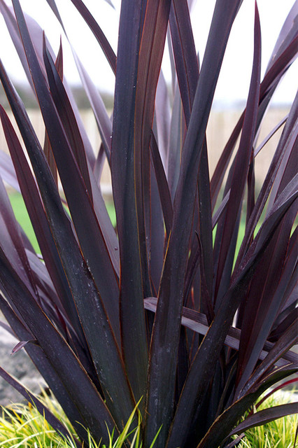 Black Adder Phormium Phormium Black Adder Pp 20451 By