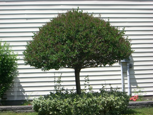 Looking for small umbrella shaped evergreen tree for Short evergreen trees