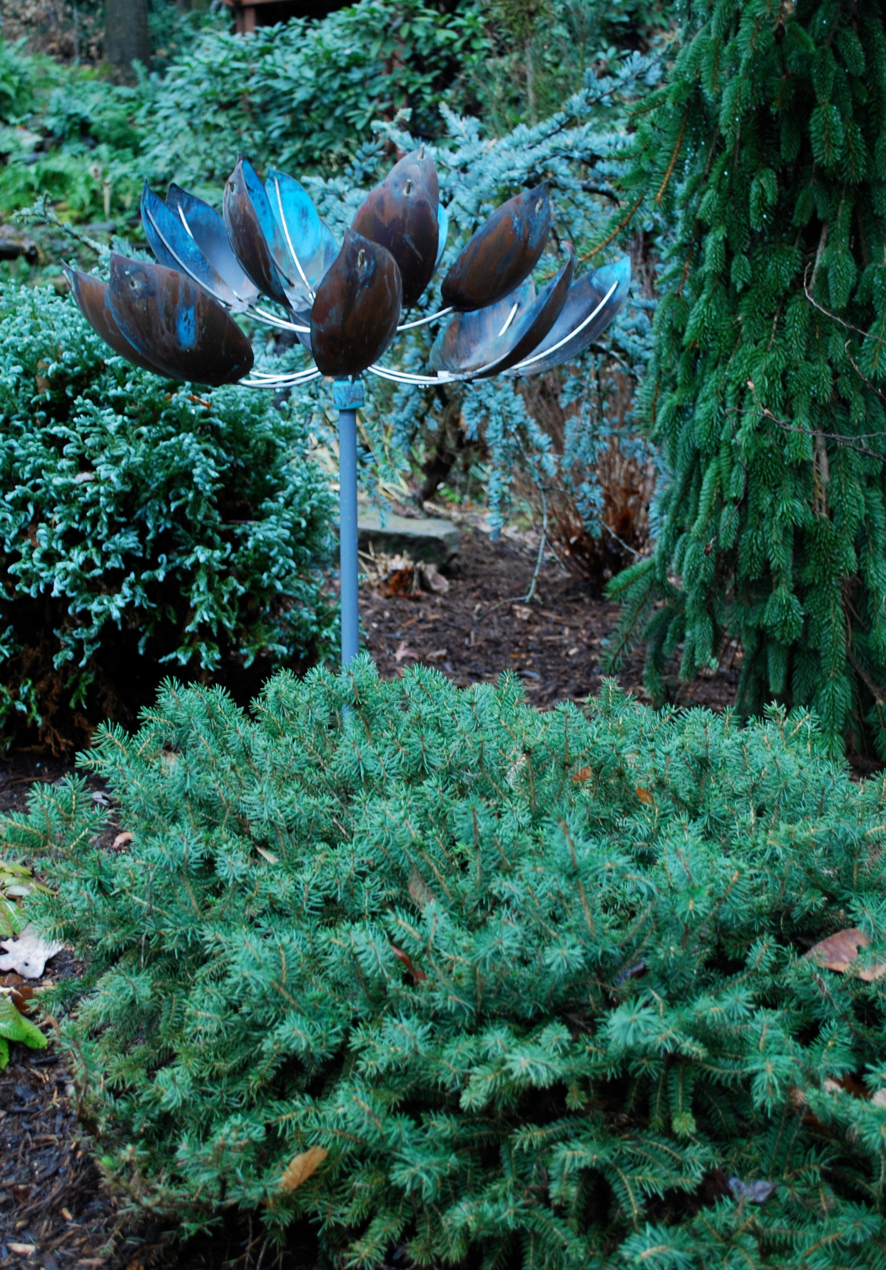 Birds Nest Spruce in conifer garden.