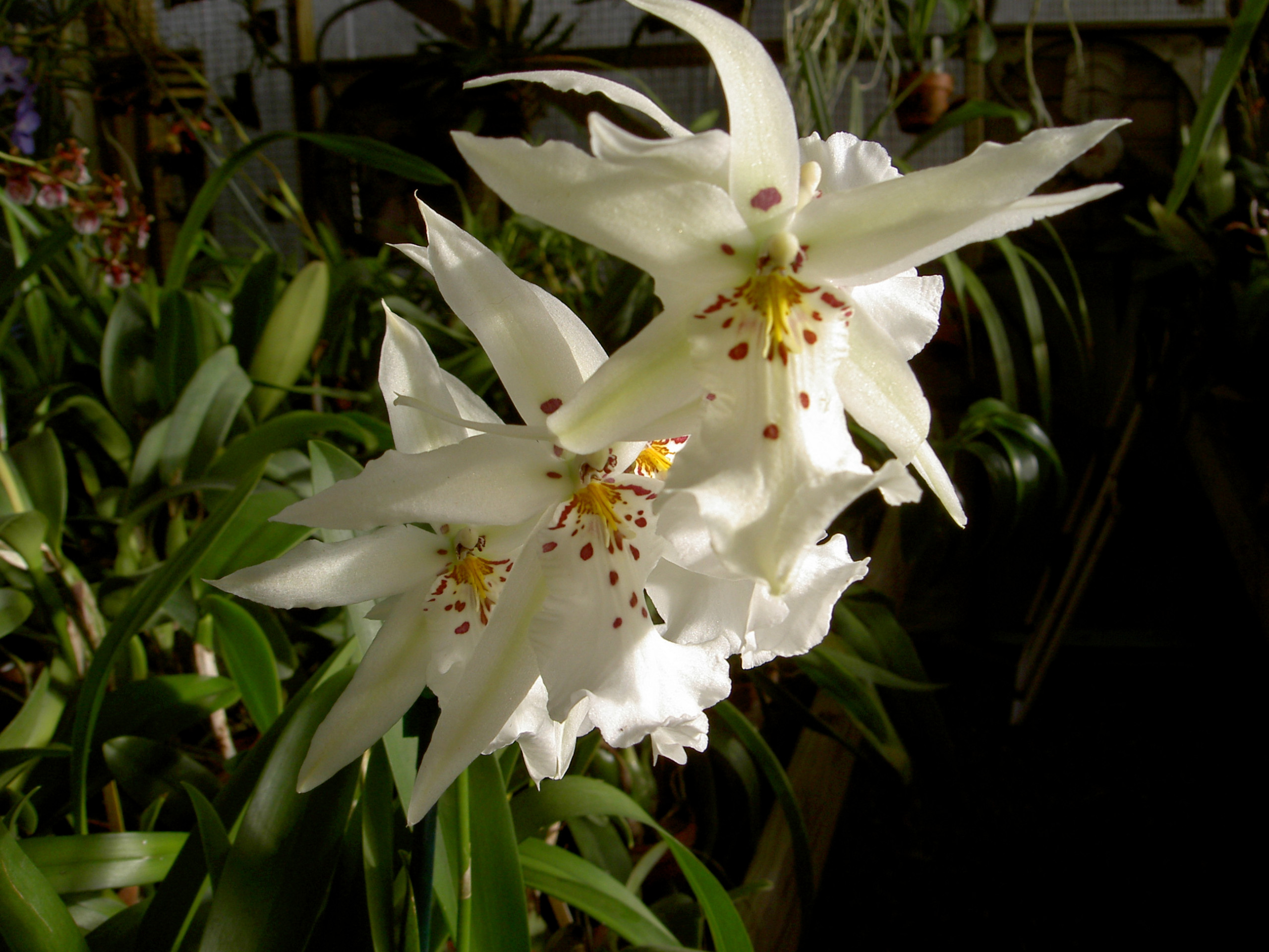 Degarmoara Winter Wonderland 'White Fairy' (Oncidium intergeneric)