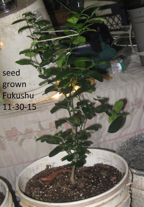 Kumquat growing for Plante kumquat