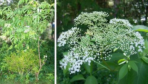 Wild tree with white flowers i cant identify mightylinksfo