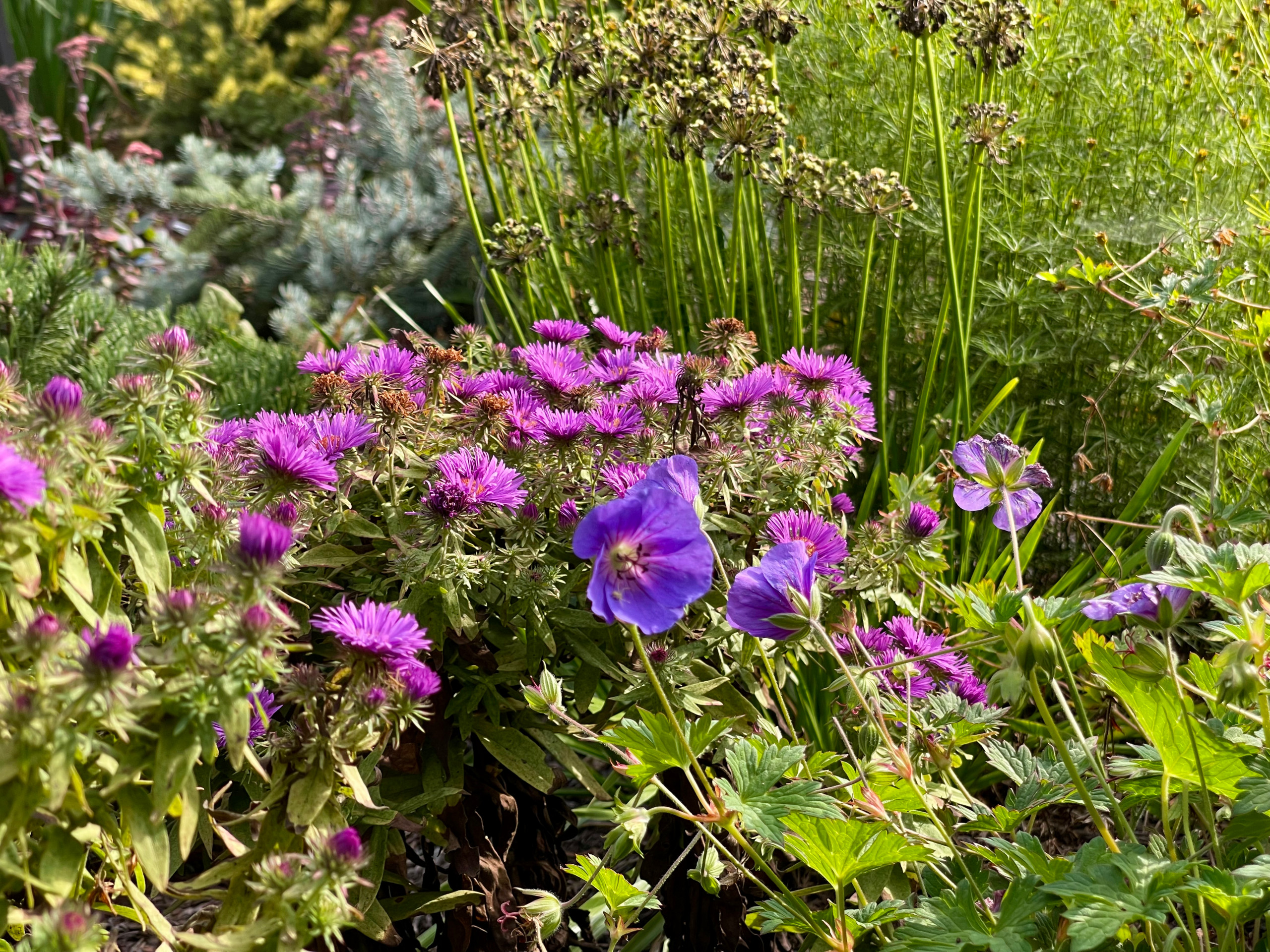 'Rozanne' geranium and 'Purple Dome' asters