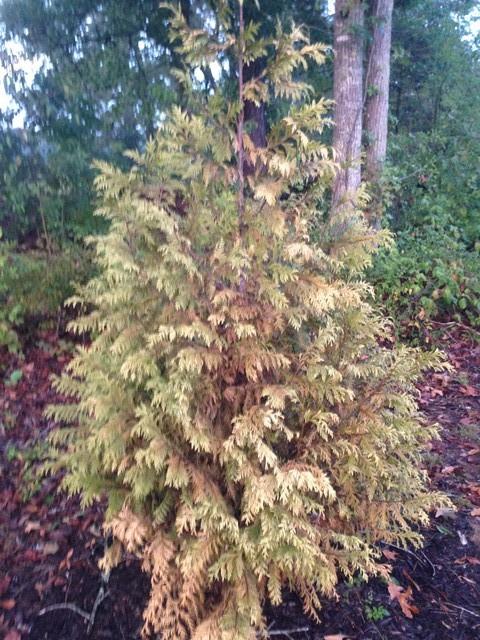 Arborvitae And Green Giant Turning Greyish