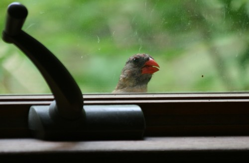 Why is that cardinal knocking on my window?