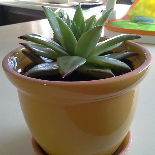 Help me id my new succulents for Help me design my garden