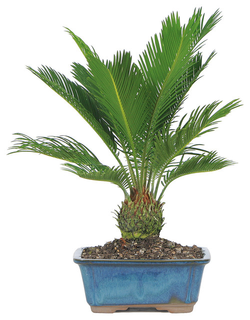 Brussel 39 s bonsai sago palm bonsai tree reviews houzz for Indoor decorative live plants