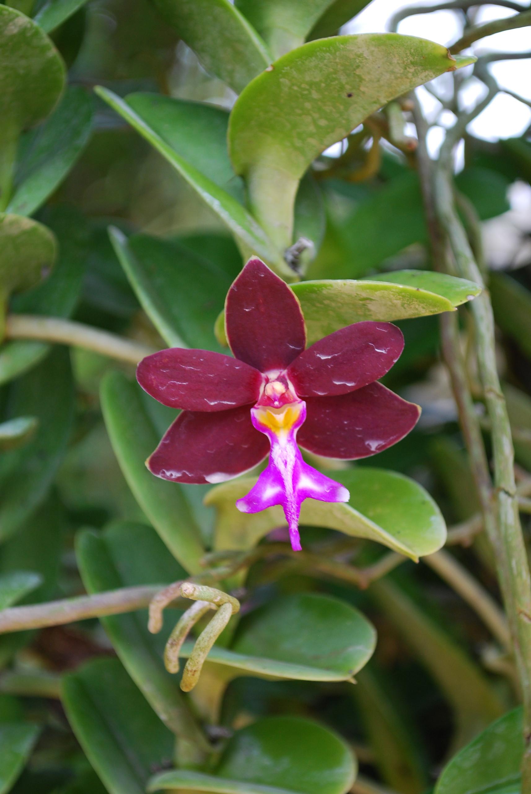 Trichoglottis brachiata orchid