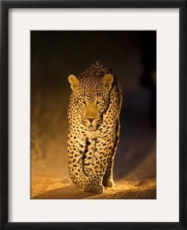"""leopard At Night, Sabi Sabi Reserve, South Africa"" Framed Photographic Print."