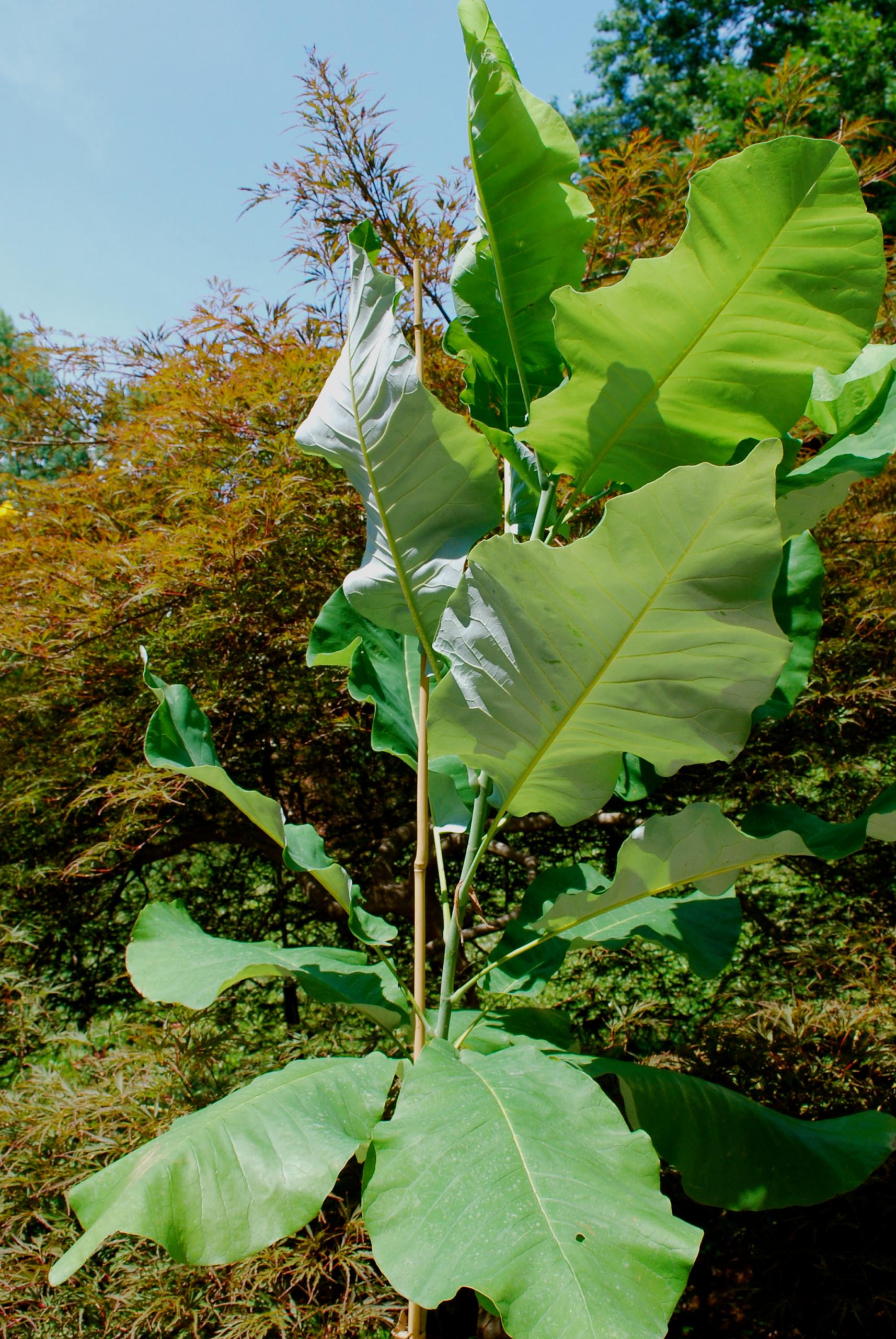 Big Leaf Magnolia (Magnolia macrophylla 'Ashei'.
