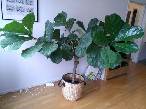 how to prune a fiddle leaf fig tree