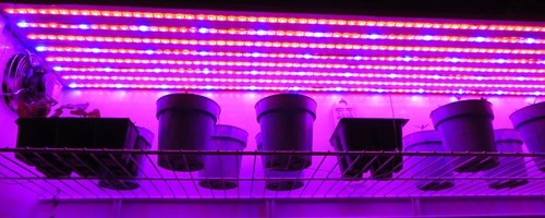 Failed led strip lighting experiment on 42015 it was evident that the led grown seedlings were much worse than the ones grown in the greenhouse in the photo below the led grown tomato aloadofball Choice Image