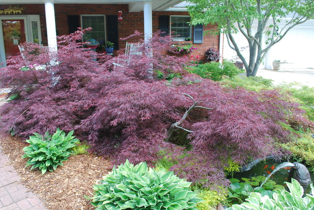 Acer palmatum 39 tamukeyama 39 asian charlotte by jay for Garden design with japanese maple