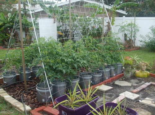 a frame trellis working out so well for tomatoes